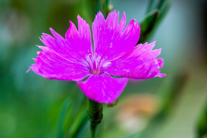 Un primo piano di un fiore porpora del giardino su uno sfondo naturale vago Fiore bello del giardino immagine stock libera da diritti