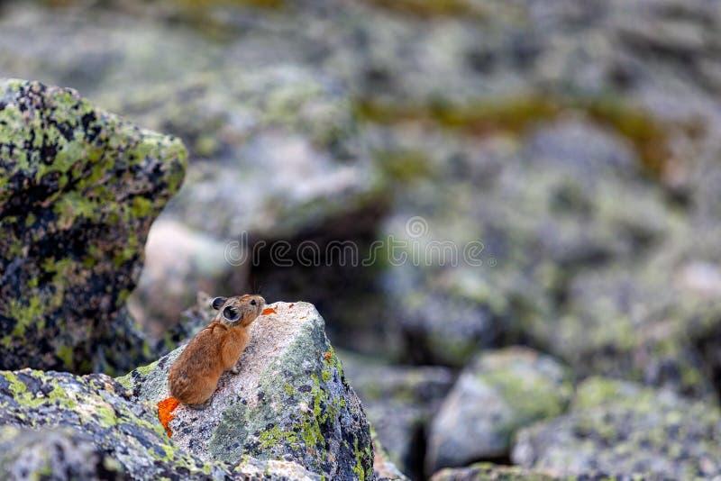 Un primo piano di un topo marrone fotografia stock