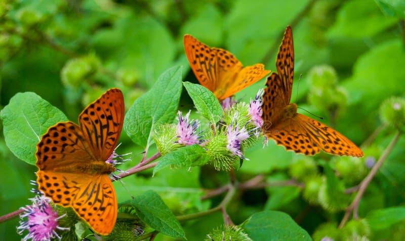 Un primo piano di tre farfalle sui fiori immagini stock libere da diritti