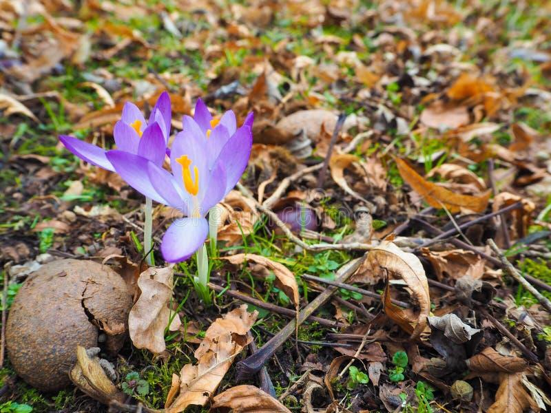 Un primo piano di tre fiori porpora luminosi del croco immagini stock libere da diritti