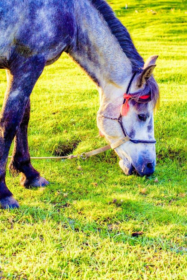 Un primo piano di un cavallo sul pascolo immagine stock libera da diritti
