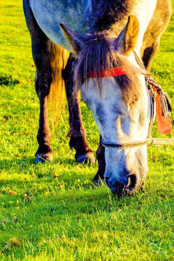 Un primo piano di un cavallo sul pascolo fotografia stock