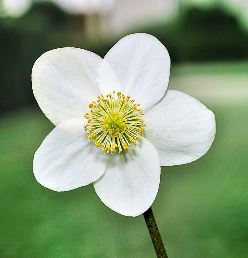 Un primo piano di un fiore bianco di una pianta del niger for Elleboro bianco