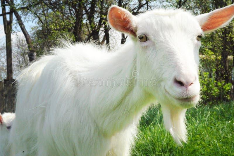 Un primo piano di una capra bianca immagini stock libere da diritti