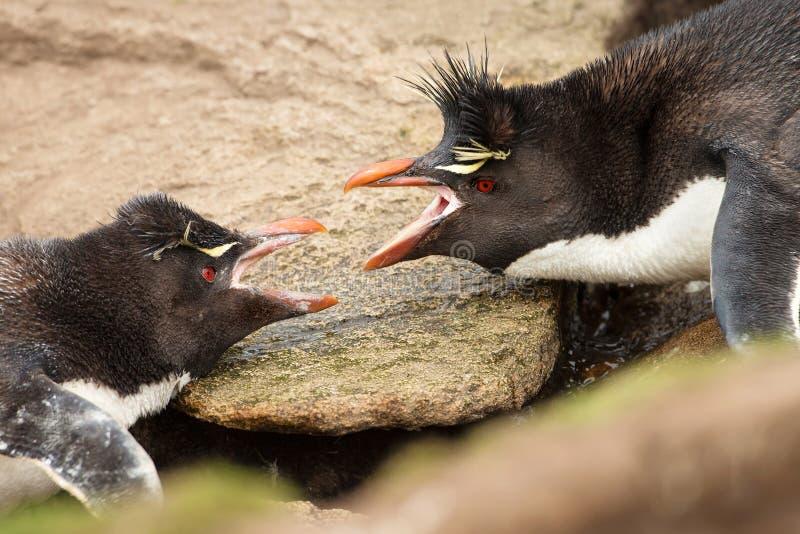 Un primo piano di una discussione del sud di due pinguini di Rockhopper fotografia stock