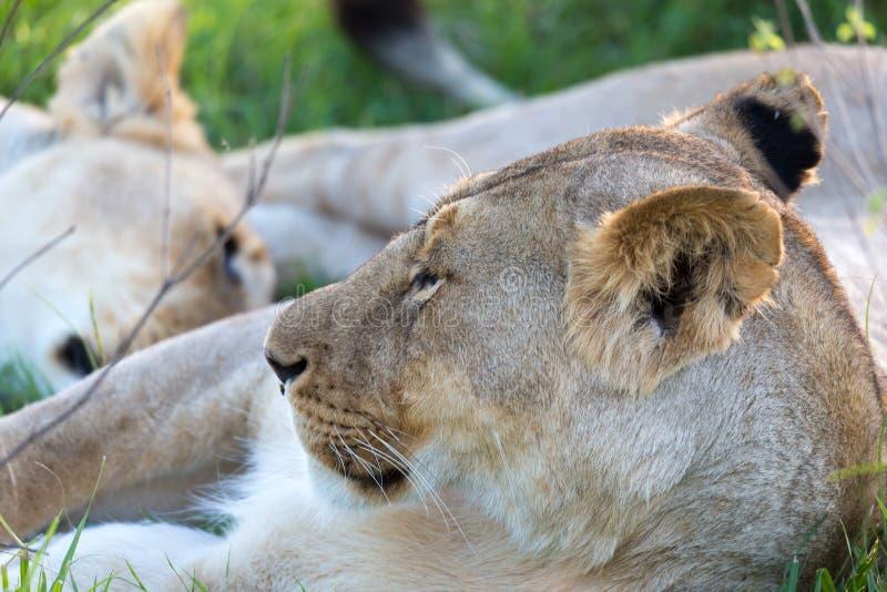Un primo piano di una leonessa che prova a riposare nell'erba fotografia stock