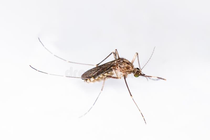 Un primo piano o una macro di una zanzara su un fondo bianco fotografia stock libera da diritti