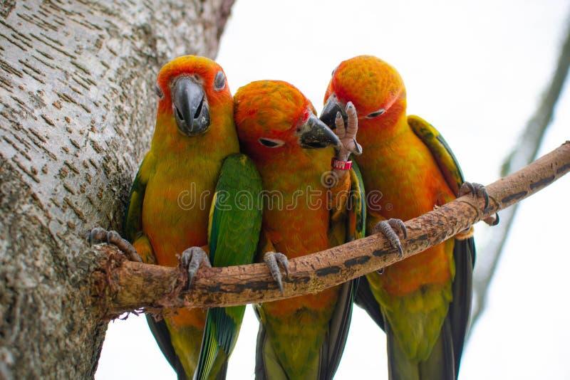 Un primo piano variopinto di tre pappagalli su un ramo che prova a liberarsi ed ha rotto i fetters fotografie stock libere da diritti