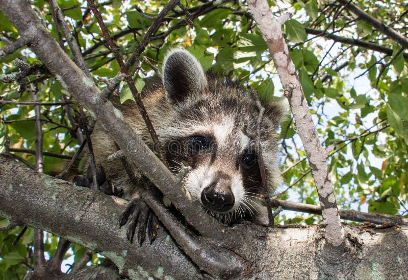 Un procione del bambino che guarda giù da un albero fotografia stock