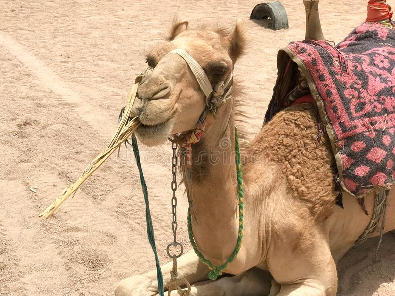 Un profil d'un grand beau bon chameau fier fort beige avec une bosse avec un museau, un visage qui mange une usine, paille, sitti photo libre de droits