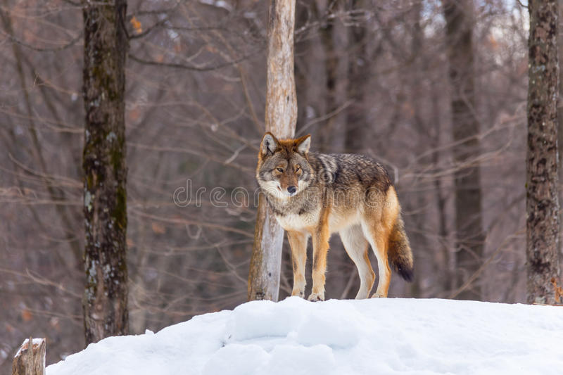 Un profil d'un coyote solitaire photos libres de droits