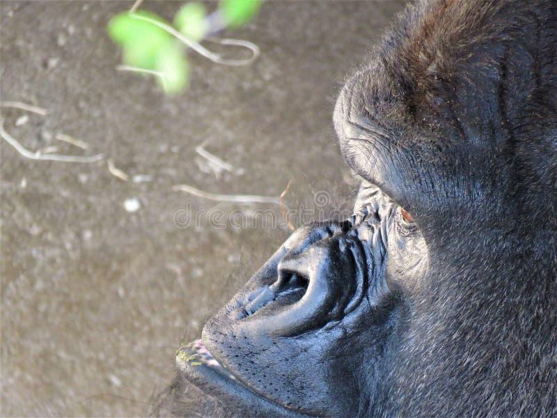 Un profilo della gorilla di pianura occidentale immagini stock libere da diritti