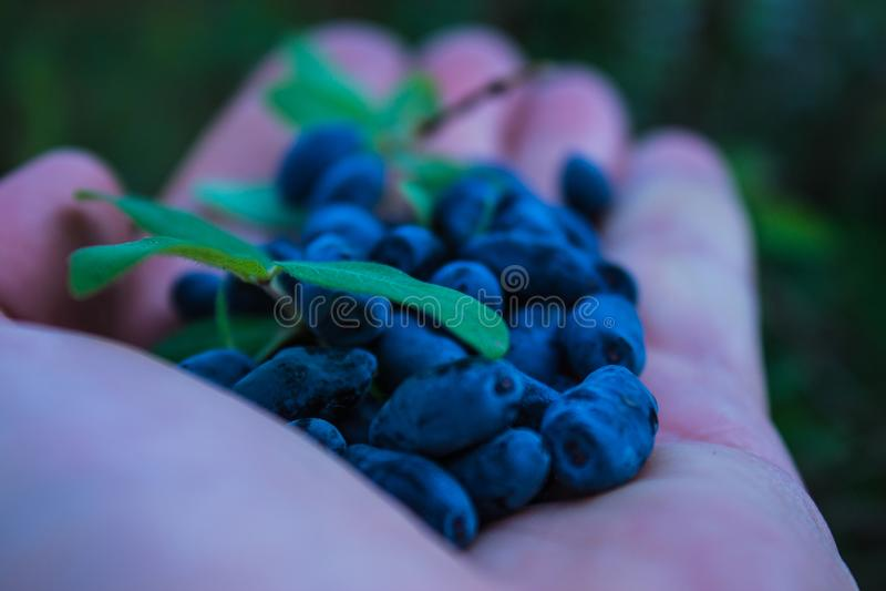 Un puñado de bayas azules de la madreselva en la palma de su mano fotos de archivo