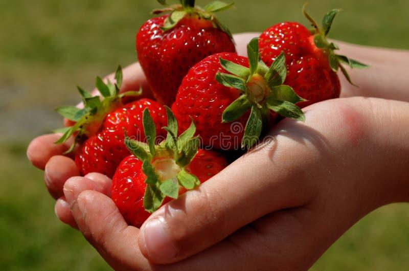 Un puñado de fresas rojas maduras en las manos de un muchacho fotos de archivo