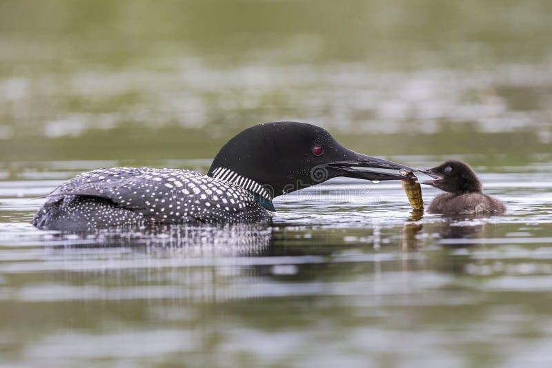 Un pulcino comune settimane di età del lunatico è alimentato un pesce da uno dei suoi genitori immagine stock libera da diritti