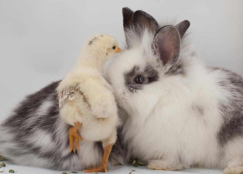 Un pulcino del bambino e due conigli del bambino sono indicati su un fondo bianco immagine stock