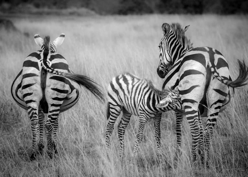Un puledro della zebra cura fra il gregge nella savana fotografia stock