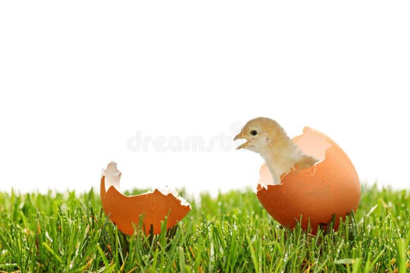 Un punto di vista di un pollo del bambino su un'erba verde fotografia stock