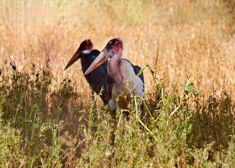 Un punto di vista di due uccelli stanti di Marabu con un grande becco Safari Tsavo Park nel Kenya - in Africa fotografia stock