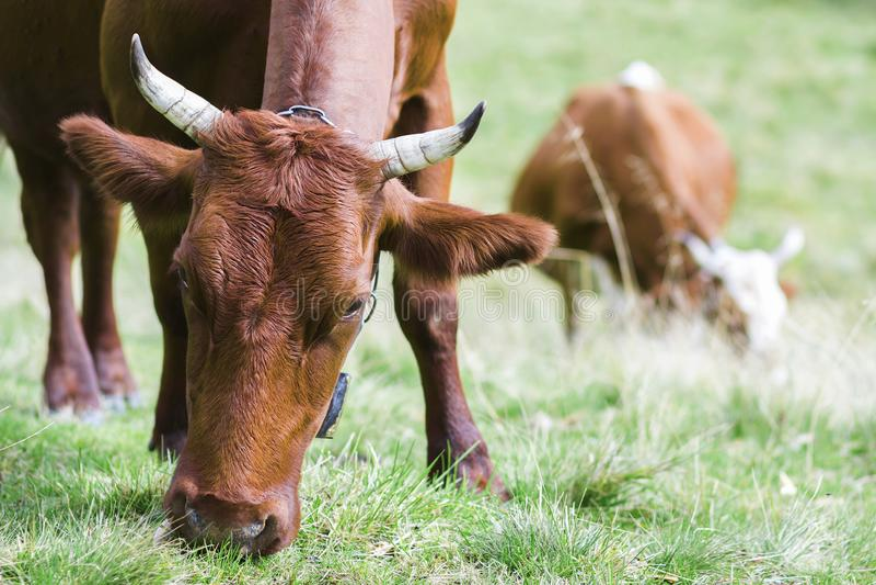 Un punto di vista idilliaco di due mucche marroni che pascono nel campo verde franco del pascolo immagini stock libere da diritti