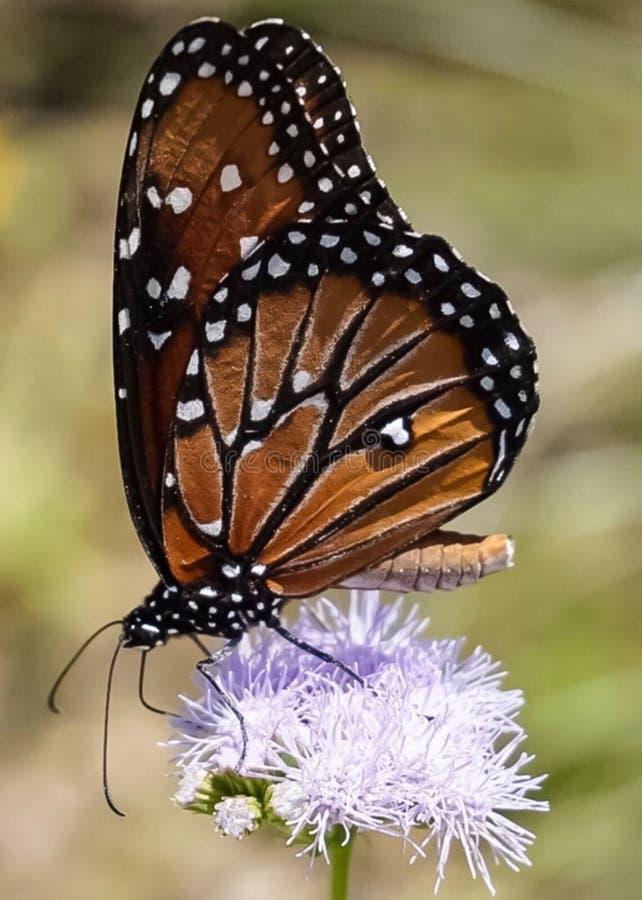 Un punto di vista vicino alto di una farfalla di monarca su un wildflower porpora in un prato immagine stock libera da diritti