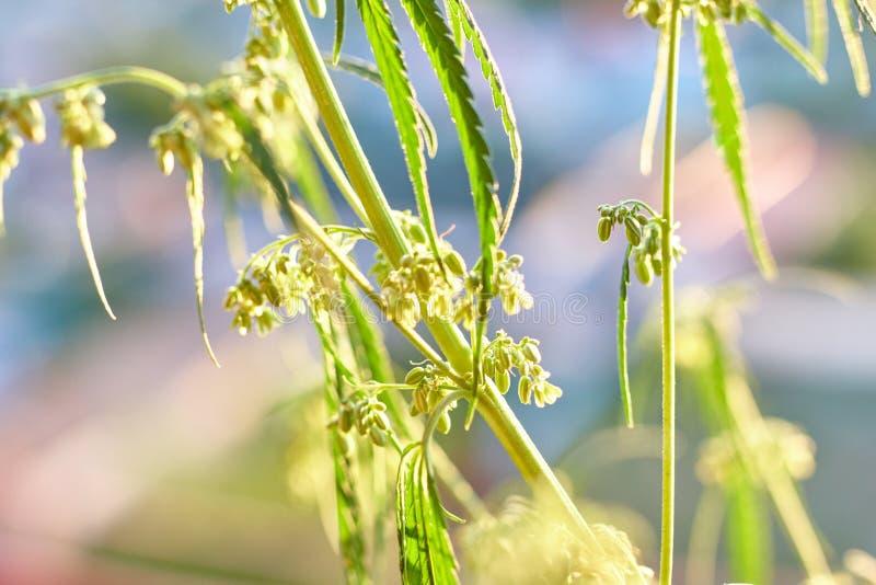 Un punto di vista vicino alto di giovane cannabis medica legale di fioritura dell'interno della marijuana germoglia Qui potete ve fotografia stock libera da diritti