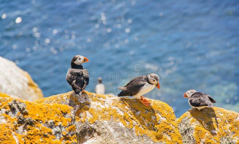 Un punto di vista vicino di tre puffini su una roccia il giorno soleggiato fotografia stock libera da diritti