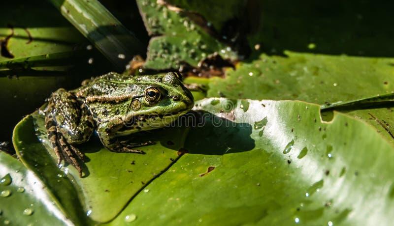 Un punto di vista vicino di una rana verde con giallo osserva la seduta su una foglia di una ninfea e lo sguardo molto attentamen fotografia stock