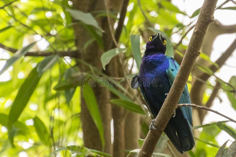 Un purpureus brillant pourpre de Lamprotornis d'étourneau se reposant sur une branche photo libre de droits