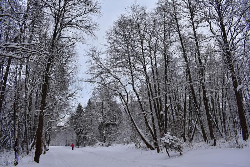 Un qué placer de competir con a través del bosque del invierno en los esquís nieve en la tierra, los árboles, el silencio a veces fotos de archivo