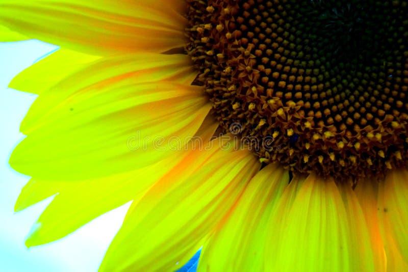 Un quart d'un tournesol de fleur images stock