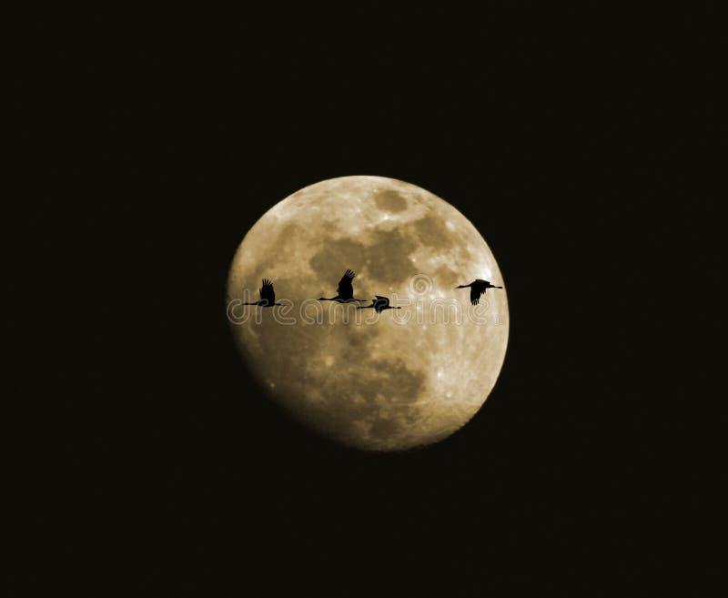 Un quartet des grues de Sandhill contre la lune photographie stock