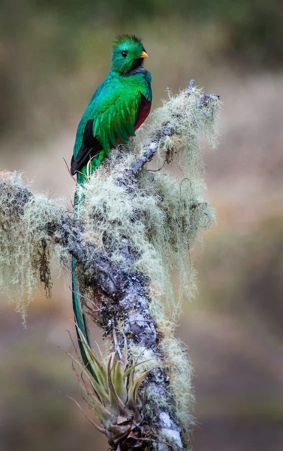 Un quetzal resplandeciente encaramado hermoso fotos de archivo