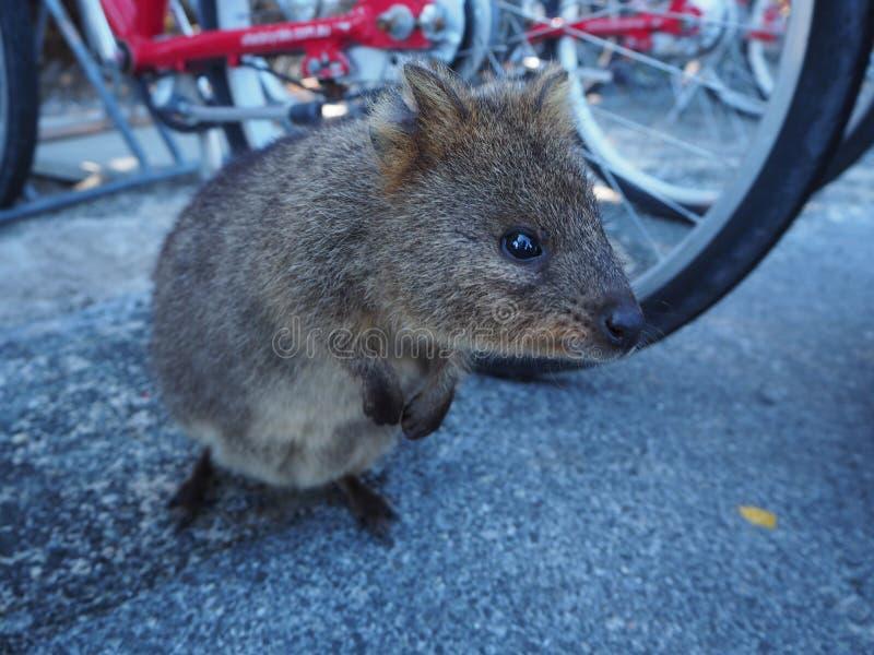 Un quokka mignon de Perth images stock