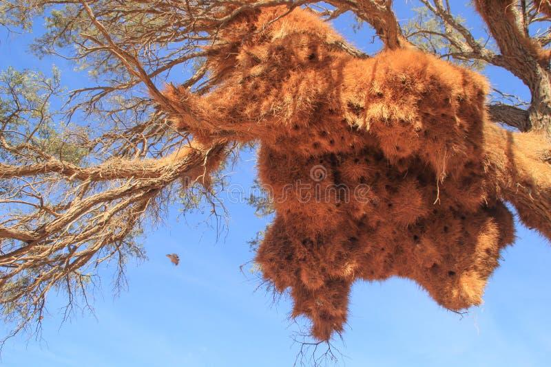 Un racimo enorme de jerarquías amarillas del pájaro de la hierba en la rama del africano fotos de archivo libres de regalías