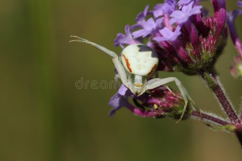 Un ragno bianco del granchio, Thomisidae, vatia di Misumena, appollaiato su un fiore che aspetta la sua preda per atterrare sul f fotografie stock