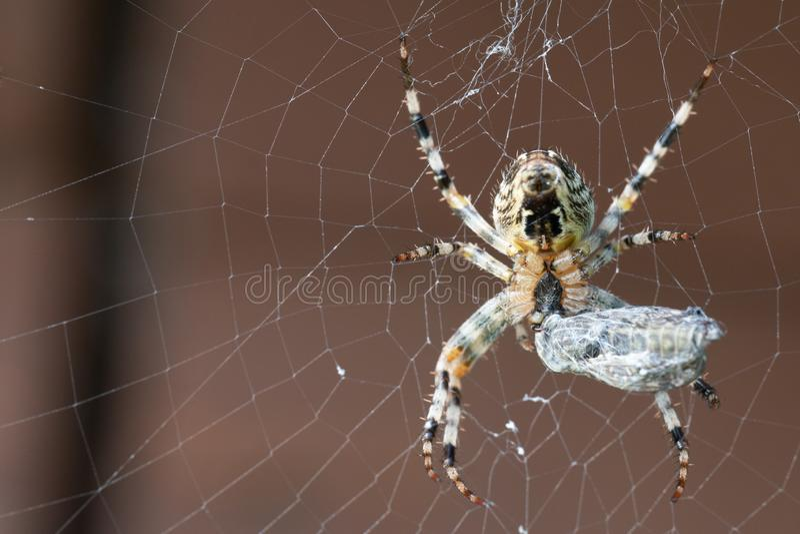 Un ragno con la sua preda Macro colpo immagine stock