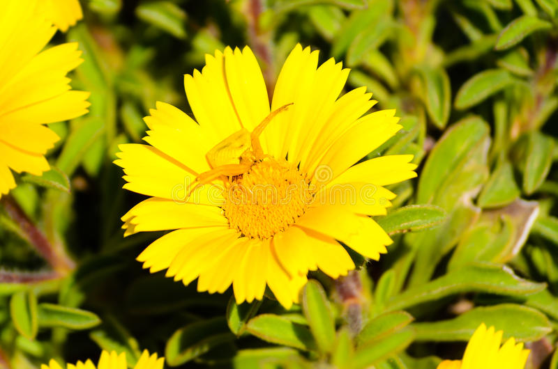 Un ragno del granchio che aspetta su un fiore fotografia stock libera da diritti