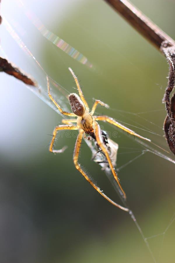 Un ragno di giardino fotografie stock