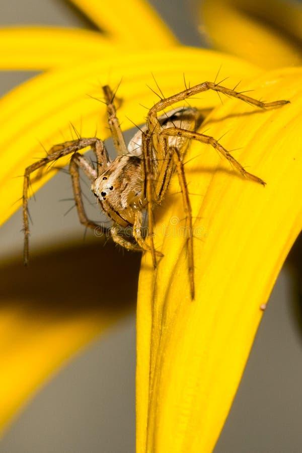 Un ragno di Lynx fotografia stock