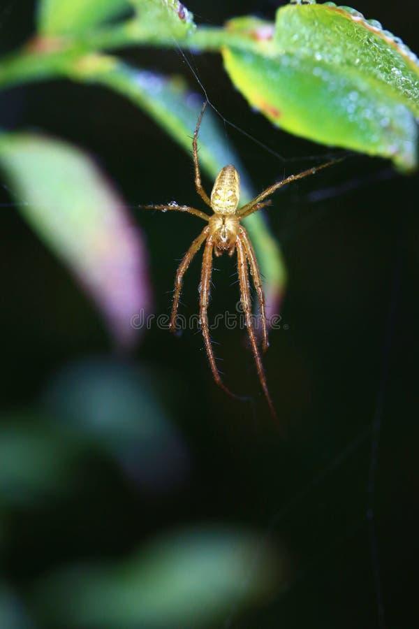 Un ragno riposa nelle prime ore del mattino fotografie stock libere da diritti