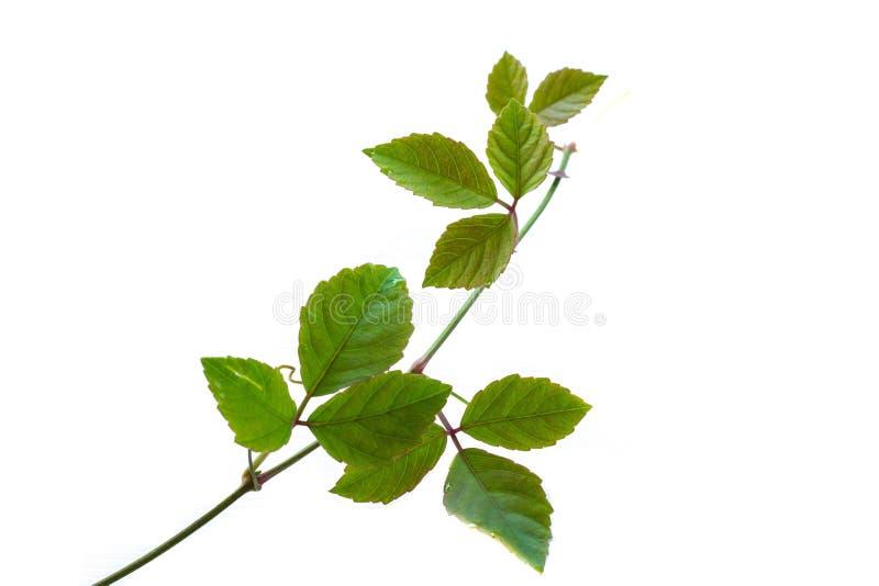 Un ramo con le foglie verdi fotografia stock libera da diritti
