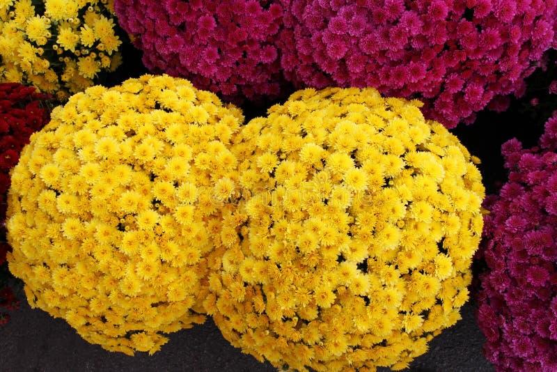 Un ramo de crisantemo hermoso florece al aire libre Crisantemos en el jardín Chrisanthemum colorido de la flor Modelo floral imagenes de archivo