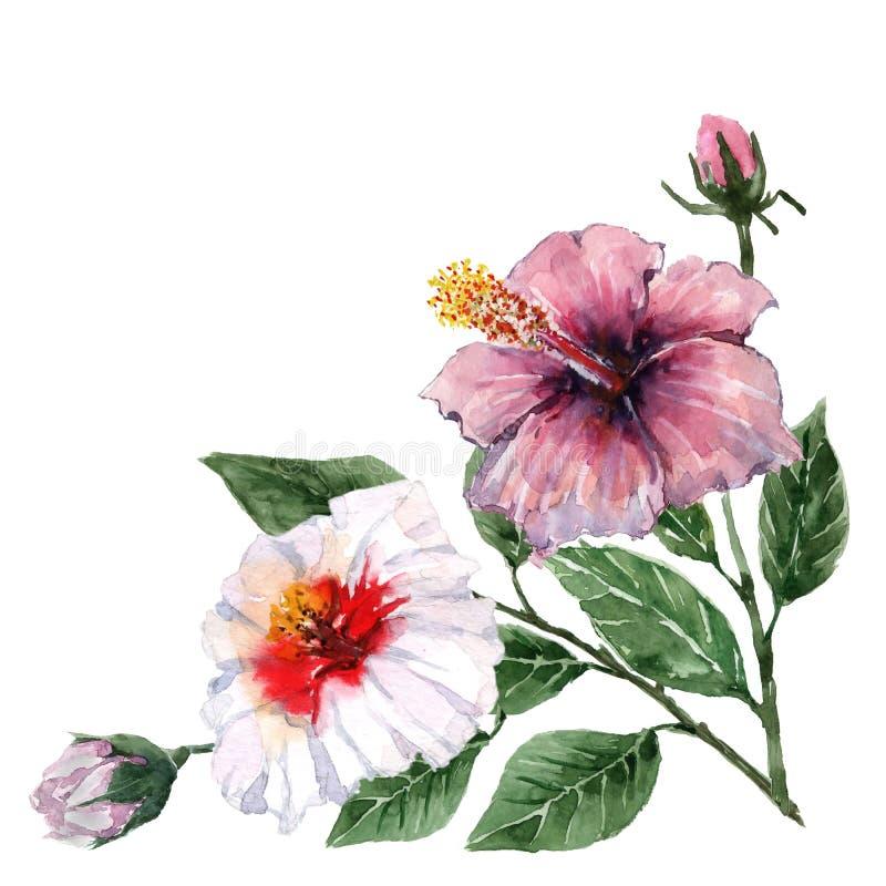 Un ramo de esquina del hibisco de las flores para las tarjetas acuarela en el fondo blanco libre illustration