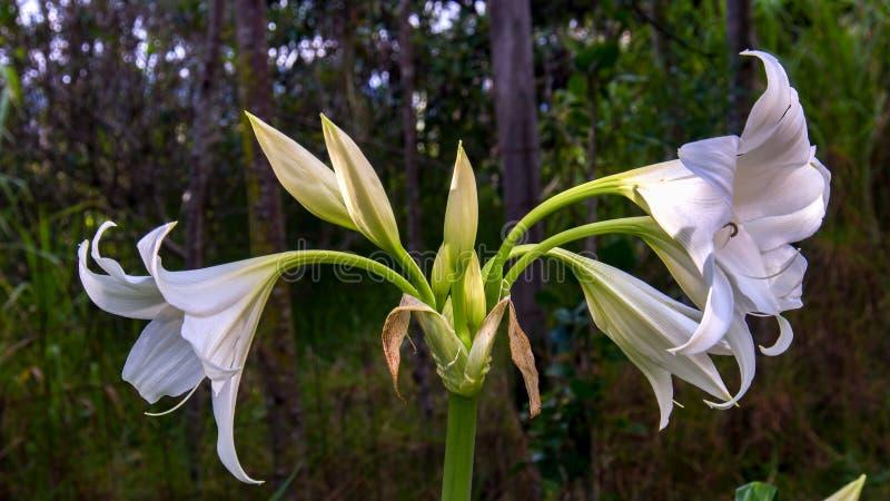 Un ramo de flores del lirio de madonna foto de archivo