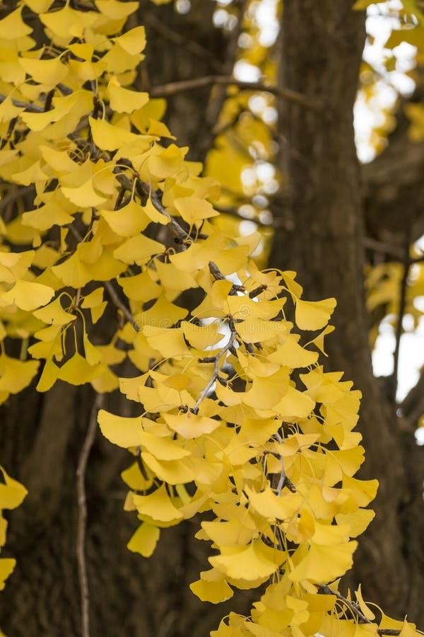 Un ramo de ginkgo se va en el árbol durante último otoño imagenes de archivo