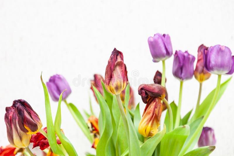 Un ramo de opinión marchitada del primer de los tulipanes de rojo y de púrpura con las hojas verdes en un fondo blanco foto de archivo