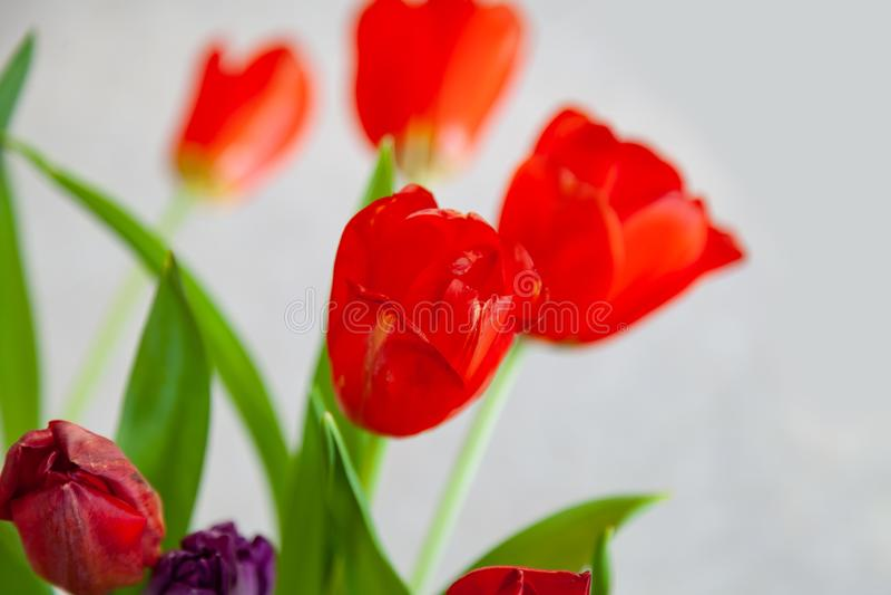Un ramo de opinión superior del primer de los tulipanes de rojo y de púrpura con las hojas verdes en un fondo blanco Brotes grand imagen de archivo libre de regalías