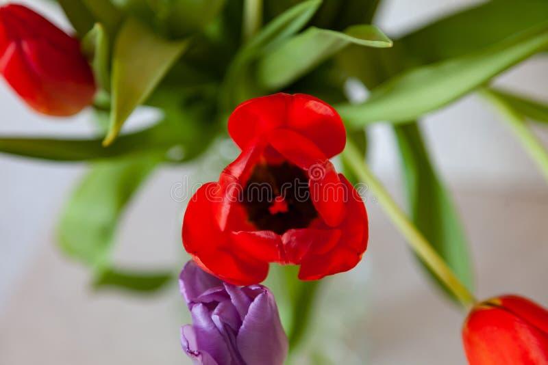 Un ramo de opini?n del primer de los tulipanes de rojo y de p?rpura con las hojas verdes en un fondo blanco Brotes de flor grande imagen de archivo libre de regalías