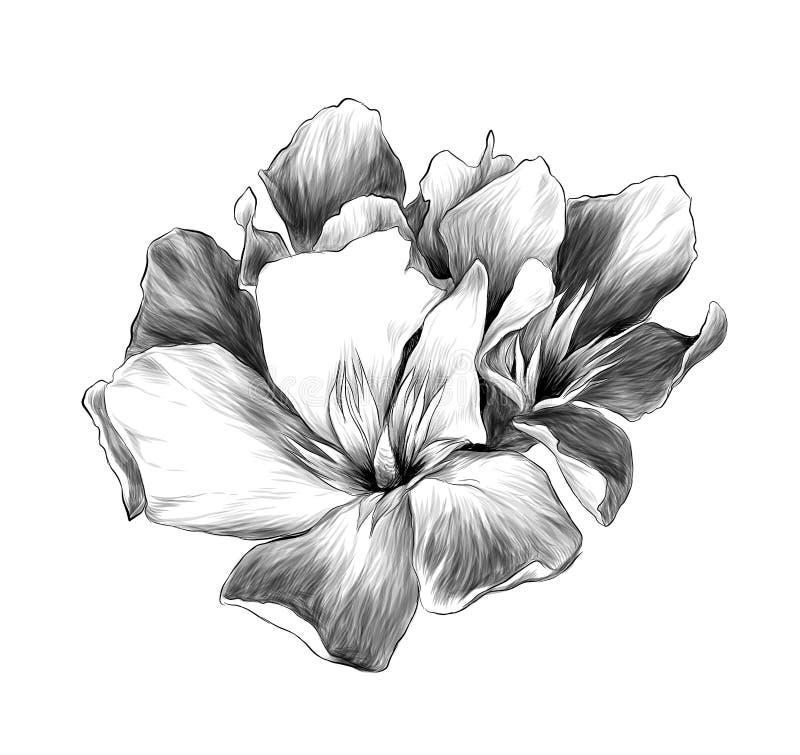 Un ramo de tres brotes de flor llamó el adelfa stock de ilustración